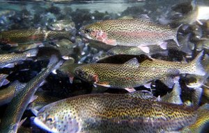 These rainbow trout at the Puyallup Fish Hatchery swim will be transported to Lake Geneva in preparation for the start of this year's fishing season.