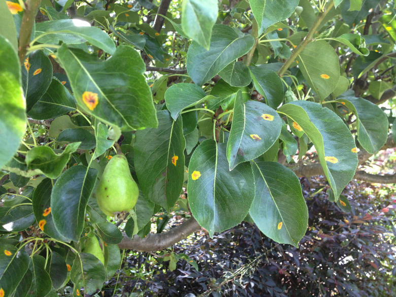 Rust on pear trees has become a big problem locally in recent years. This tree suffers from trellis rust. (Mary Flewelling Morris)