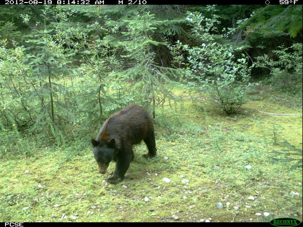 Animals, including black bears, have already taken to using crossing structures built by WSDOT to provide safe passage across I-90.  (Courtesy of WSDOT)