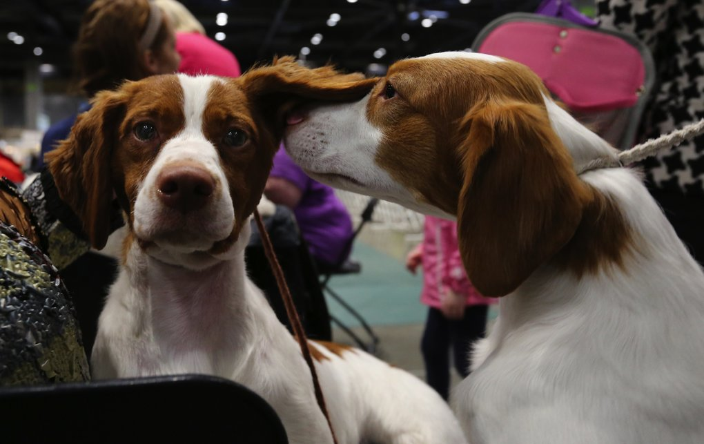 From one Brittany to another, this one whispers some advice to a competitor just before showing Saturday at the Seattle Kennel Club annual event. The show continues Sunday with more than 1,500 dogs of about 170 breeds, plus one 140-pound pig. (Alan Berner/The Seattle Times)