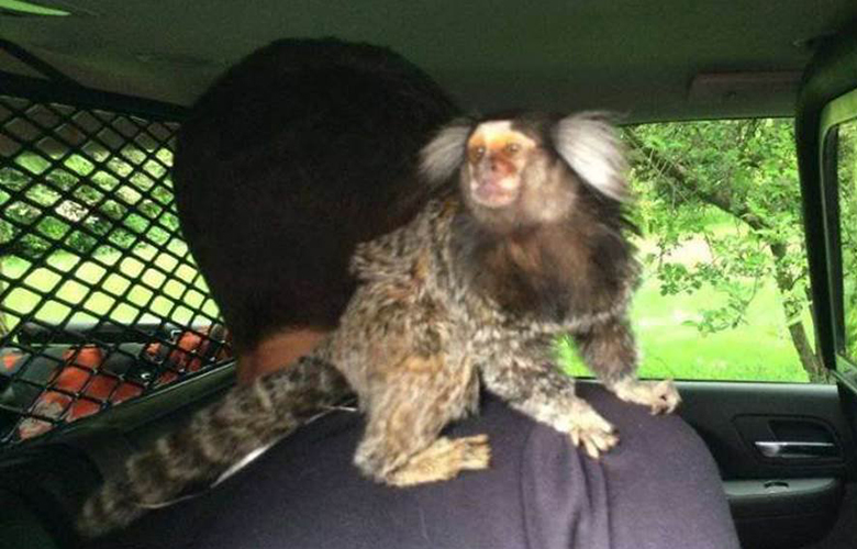 A monkey is seen on a driver who allegedly drove 112 MPH on SR 509 on Wednesday, May 4, 2016.