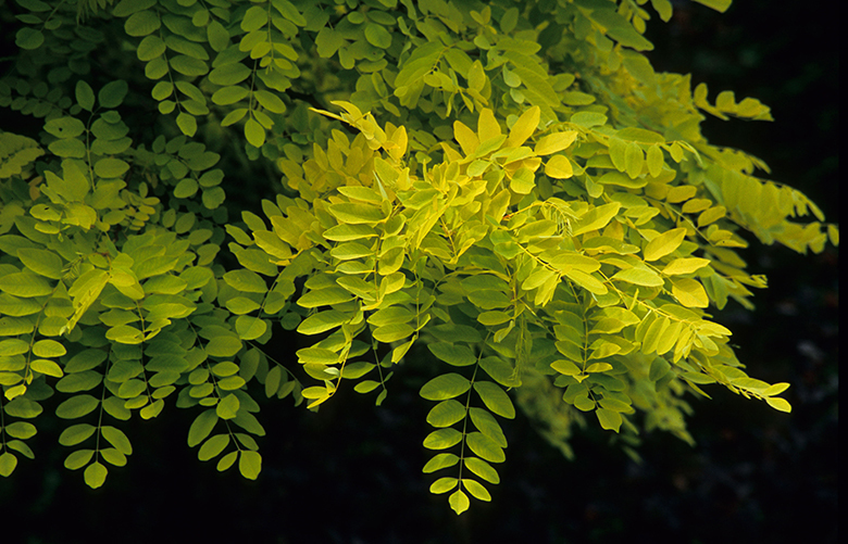 The soft, drooping foliage of golden locust casts a bright shade.