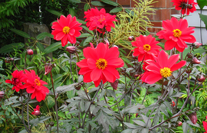 The best fertilizer for dahlias, like this 'Bishop of Llandaff', is a combination of alfalfa meal and organic flower food.
