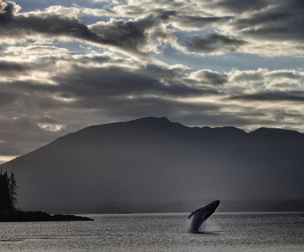 "Photographer: Tanya Karwaki, Seattle.  Photo taken: June 25, near Ketchikan, Alaska.  Photographer's description: ""While I was on the beach the whale entered the bay. It was showing its fluke and I tried to take a photo with no luck. Suddenly it jumped out of the water. I aimed my point-and-shoot Olympus Tough TG-4 and came away with this playful photo!""  Katie's critique: ""Wow! A very majestic photo that captures the perfect moment. The lighting is beautiful and I really like the texture throughout. The wide shot accentuates the scale of the whale. I almost want to crop out some of the clouds from the top to focus in a little bit more on the whale. Fabulous shot!"""