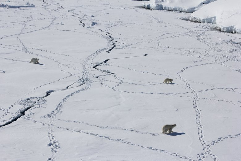 Scientists at the University of Washington say changes in sea ice have the greatest impact on polar bears, particularly the shift toward an earlier melt and a later freeze. (Kristin Laidre)