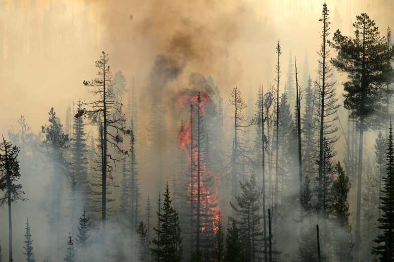 Wildfire consumes a tree in a burning forest near Omak, August 2015. (Bettina Hansen / The Seattle Times)