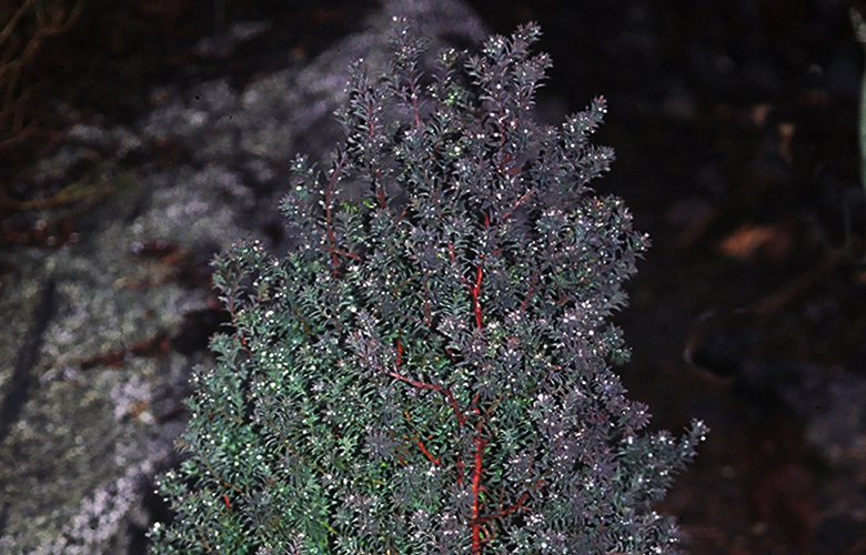 The leaves of the Chamaecyparis thyoides 'Red Star' turn from blue-green to brilliant purple in winter.