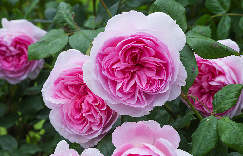 New for Spring 2017: 'The Ancient Mariner', a tall repeat-blooming English Rose from David Austin Roses.