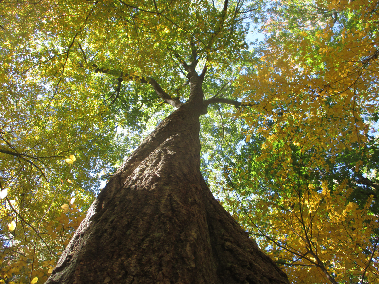 The big oak grew from a wild sprout by a stone wall to be the largest tree in its grove. (Lynda V. Mapes/The Seattle Times)