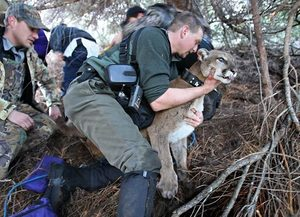 Near Cle Elum, biologist Ben Maletzke gently places Jane, a tranquilized cougar, on the ground to give her a checkup and replace the batteries in her radio collar. Volunteer Ray Ary is at left. Below, dog handler Dallas Likens holds tight to hounds Forrest, Freckles and Star, who treed Jane.