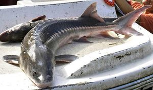 Thousands of sturgeon like the one shown here were found in the Columbia in February, lounging at the bottom of the river.