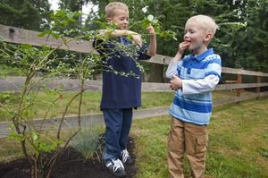 Berry bushes like these blueberries are spread through the gardens for Noah and Micah to hunt.