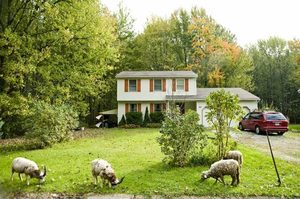The sheep of Eddie Miller, founder of Heritage Lawn Mowing, work on a yard in Oberlin, Ohio. Customers pay $1 per sheep per day. As an uncertain economy  continues to freeze people out of the traditional job market, a number of entrepreneurs like Miller, are heading back to the land, starting small agricultural businesses.