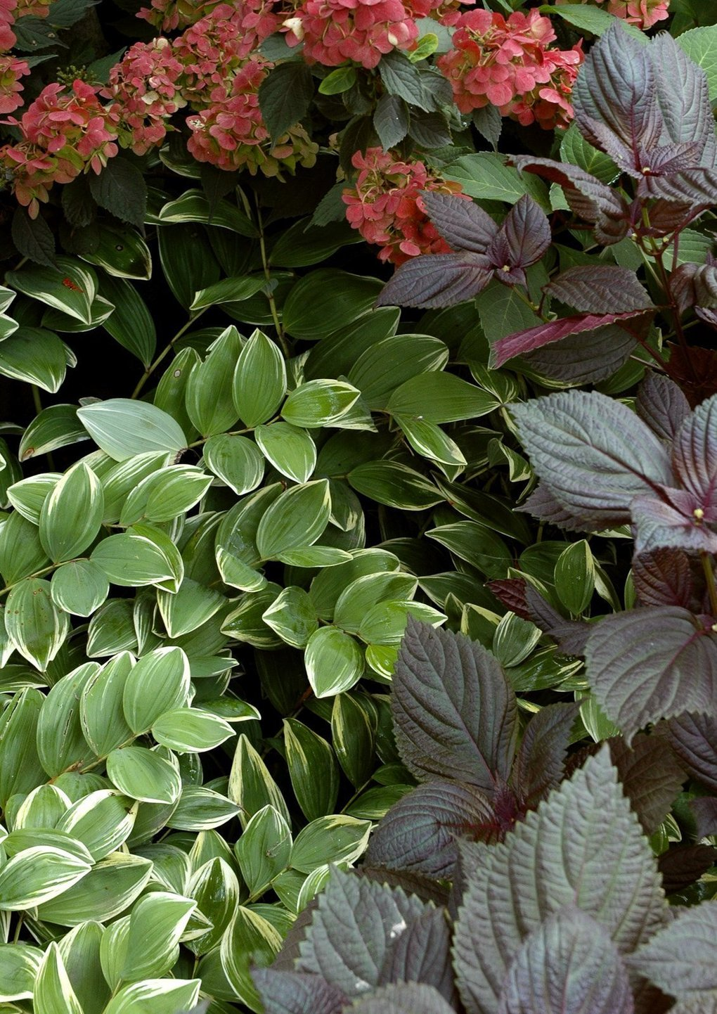Use Variegated Plants To Spice Up A Garden The Seattle Times