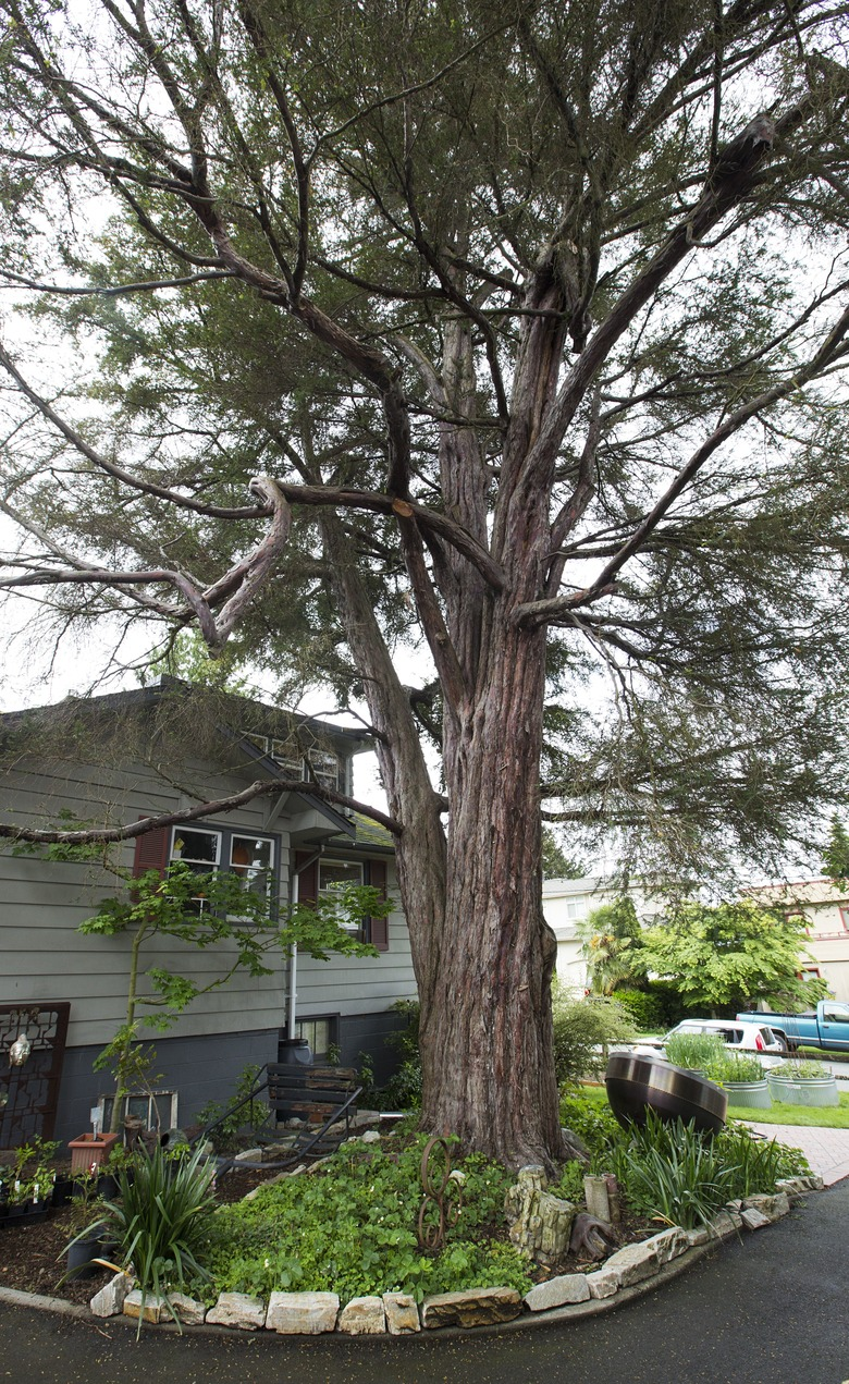 The Pacific yew tree in a private Mercer Island yard is thought to be 600 years old.