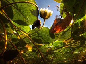A white water lily pokes its flower skyward at the Washington Park Arboretum as a honeybee comes in for a landing, Sept. 6, 2012.  Photographed underwater using a GoPro camera on a monopod, the lily is surrounded by pads that are starting to turn color in the fall sunlight.