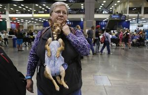 Hanging in there, Coco the Chihuahua gets a good look around as Peggy Steck cruises the floor at the Seattle Kennel Club all-breed dog show this past March at CenturyLink Field Event Center. The carrier allows Steck to be hands-free while giving Coco a ride.