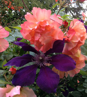 What S Up With Clematis And Hydrangeas That Won T Bloom The Seattle Times