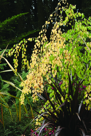 Katsura trees are known for their heart-shaped leaves and cinnamon sugar-scented autumn foliage.
