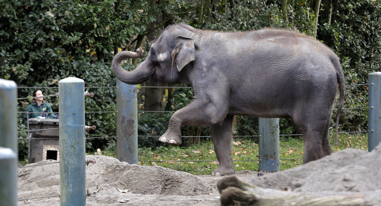 Chai, a 35-year-old Asian elephant, holds a pose as she waits for a zookeeper to place hay in a box in her enclosure at the Woodland Park Zoo. (Elaine Thompson / The Associated Press)