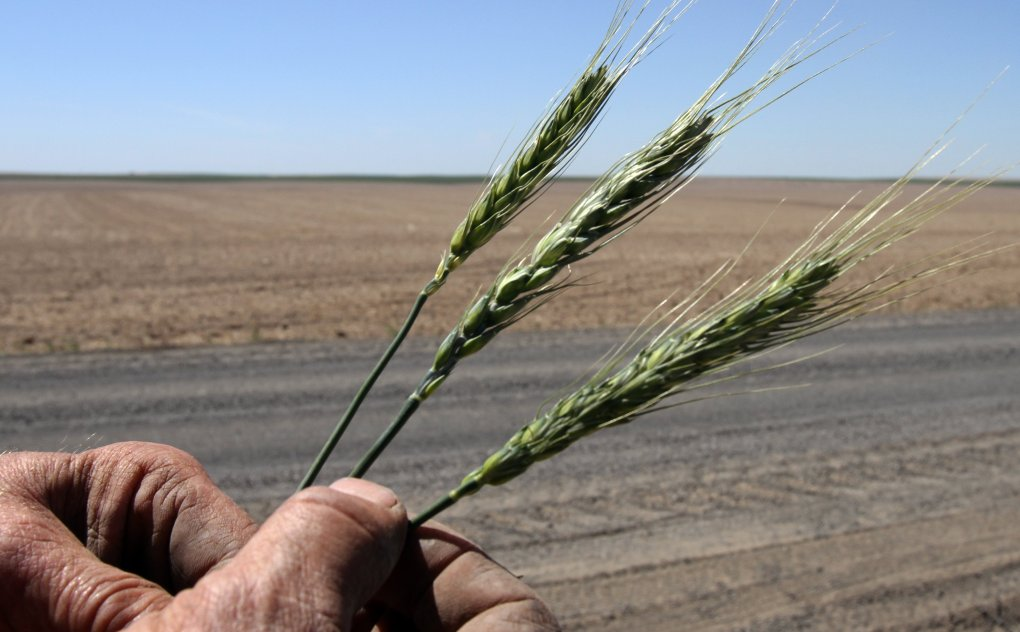 The genetically modified wheat in Oregon: Was it sabotage