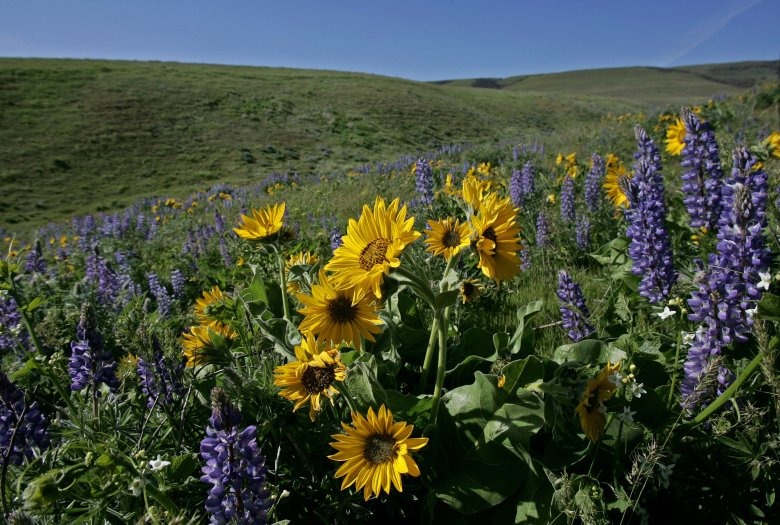 Wildflowers typically bloom from late February into July on the south facing slopes of the Columbia River Gorge National Scenic Area in Klickitat County. Lupine and balsamroot are seen on Dalles Mountain.  (Mark Harrison/The Seattle Times archive)