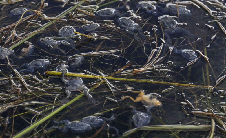 This April 25, 2015 photo shows dead frogs floating on the surface of Lake Titicaca in Pata Patani, Bolivia. As human and industrial waste from nearby cities increasingly contaminate the famed lake that straddles the border between Bolivian and Peru, the native Aymara people who rely on it for food and income say action must be taken before their livelihoods, like the frogs, die off. (AP Photo/Juan Karita)