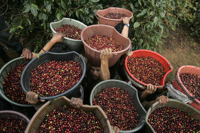 Coffee farmers in Central America and the Caribbean are struggling to recover from a devastating epidemic of coffee rust. (Erika Schultz/The Seattle Times)