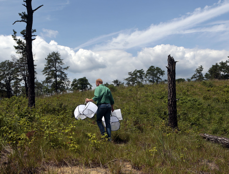 In this Friday, July 10, 2015 photo, Neil Gifford, conservation director at the Albany Pine Bush Preserve Commission, carries tents containing Karner Blue butterflies that will be released at the preserve in Albany, N.Y. More than two decades of habitat restoration and breeding programs have put the endangered Karner blue butterfly on track to recovery in the New York pine barrens where it was discovered by Russian author Vladimir Nabokov. The silvery blue, postage stamp-size butterfly is also making a comeback in parts of Ohio and New Hampshire where it was thought to have been wiped out before 2000. Populations have declined but persisted in Wisconsin and Michigan.  (AP Photo/Mike Groll)