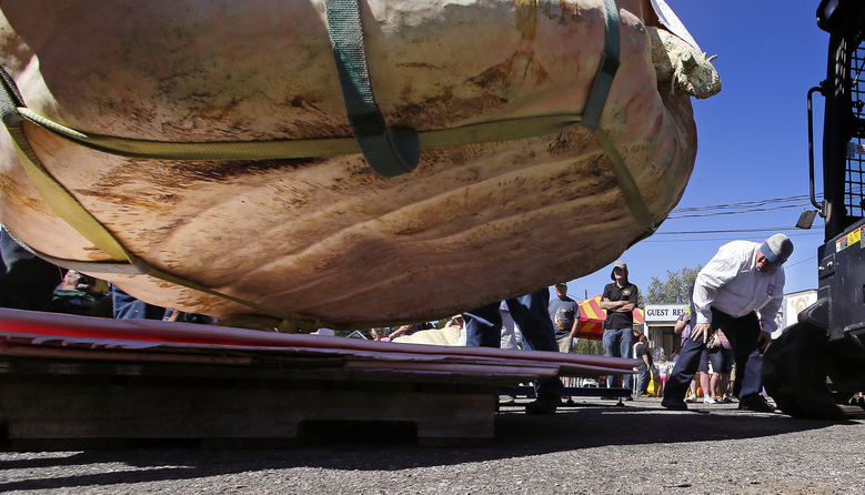 A judge takes a look under the pumpkin entry, grown by Ron Wallace, during the giant pumpkin contest weigh-off at the Rochester Fair in Rochester, N.H., Saturday, Sept. 19, 2015. (AP Photo/Charles Krupa)