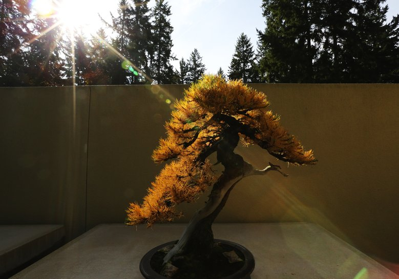 This American larch turns golden in the fall at the Pacific Bonsai Museum in Federal Way. (Alan Berner/The Seattle Times)