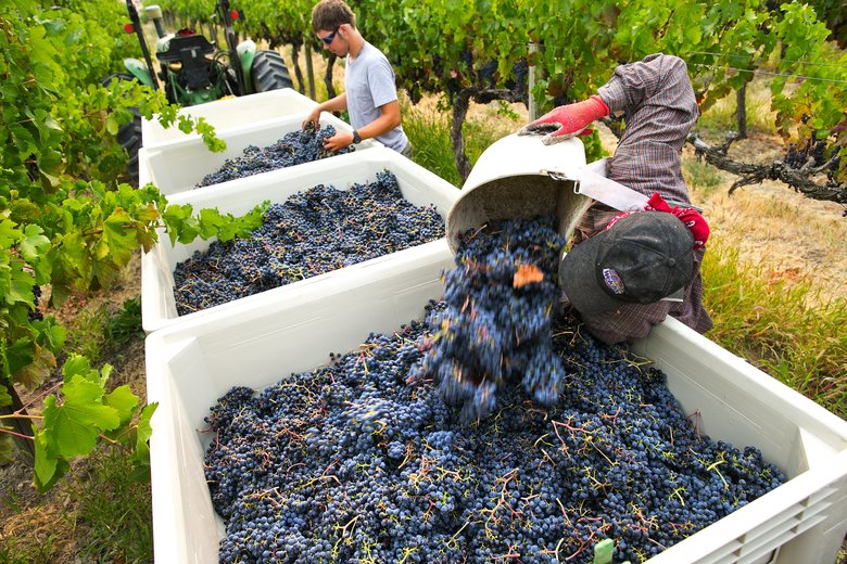 Gabriel Carillo, right, unloads freshly picked syrah grapes at Red Willow Vineyard. At left is Michael St. Hilaire. Each of the bins holds about 800 pounds of grapes. (John Lok/The Seattle Times)
