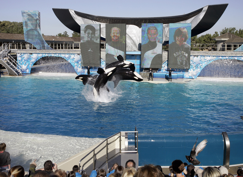 FILE – In this Nov. 30, 2006, file photo, four killer whales, including Kasatka and her calf, Kalia, leap out of the water while performing during SeaWorld's Shamu show in San Diego. A SeaWorld executive says orca shows at the company's San Diego park will end by 2017. CEO Joel Manby cited customer feedback as the reason for the move in an announcement Monday, Nov. 9, 2015, to investors. Manby said the park would offer a different kind of orca experience and focus on the animal's natural setting and behaviors. (AP Photo/Chris Park, File)