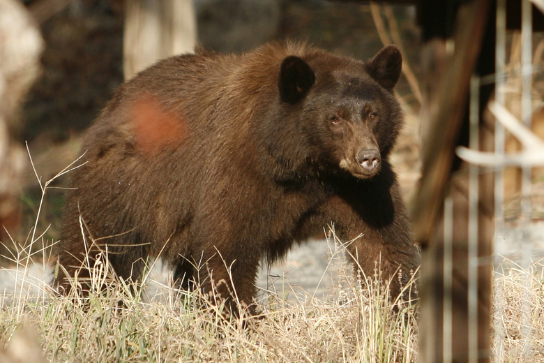 In this Friday, Oct. 23, 2015, photo a California black bear roams in Three Rivers, Calif. Tourists hoping to see a bear in Sequoia National Park this fall probably stand a better chance spotting one in this tiny town at the park's entrance. Three Rivers is literally crawling with hungry bears driven down from the mountains by drought in search of food to fatten up for the winter. The four-year drought shriveled the berry crop in the Sierra Nevada and oaks on parched hillsides produced fewer acorns, forcing the bears into the valleys carved by the branches of the Kaweah River that give this town its name. (AP Photo/Brian Melley)