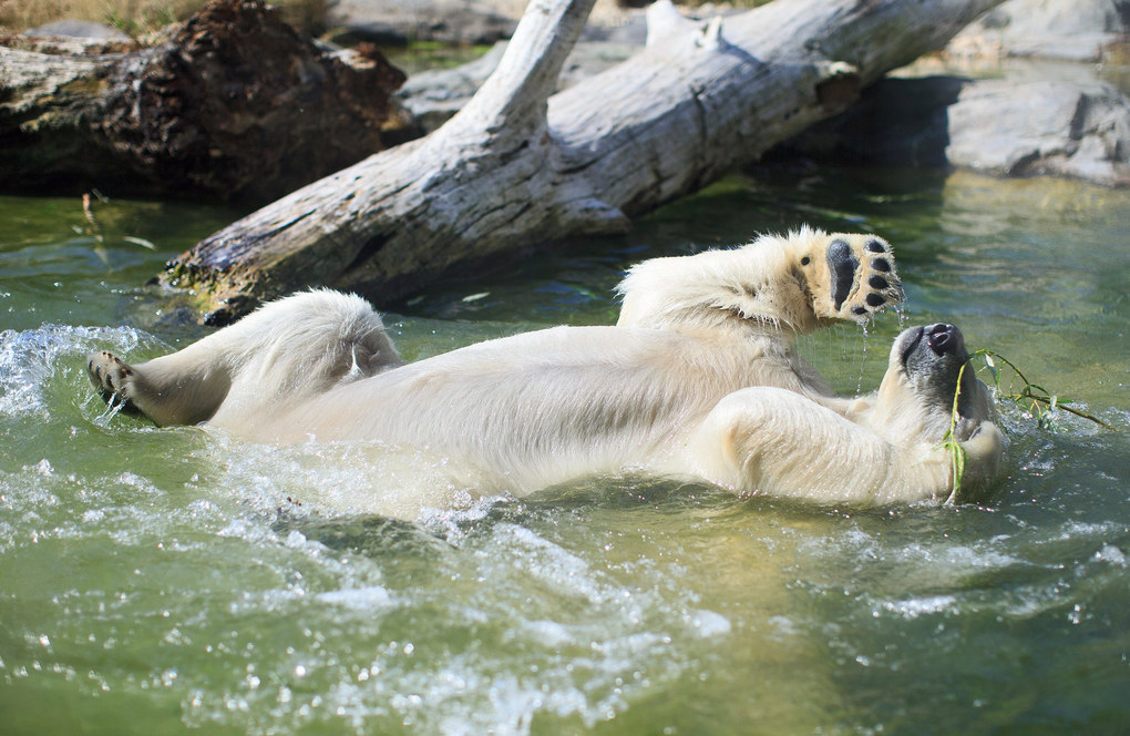 A polar bear enjoys a cool bath at the Schoenbrunn Zoo in Vienna, Austria, July 17, 2015. Temperatures may rise up to 38 degrees this weekend.  EPA/GEORG HOCHMUTH