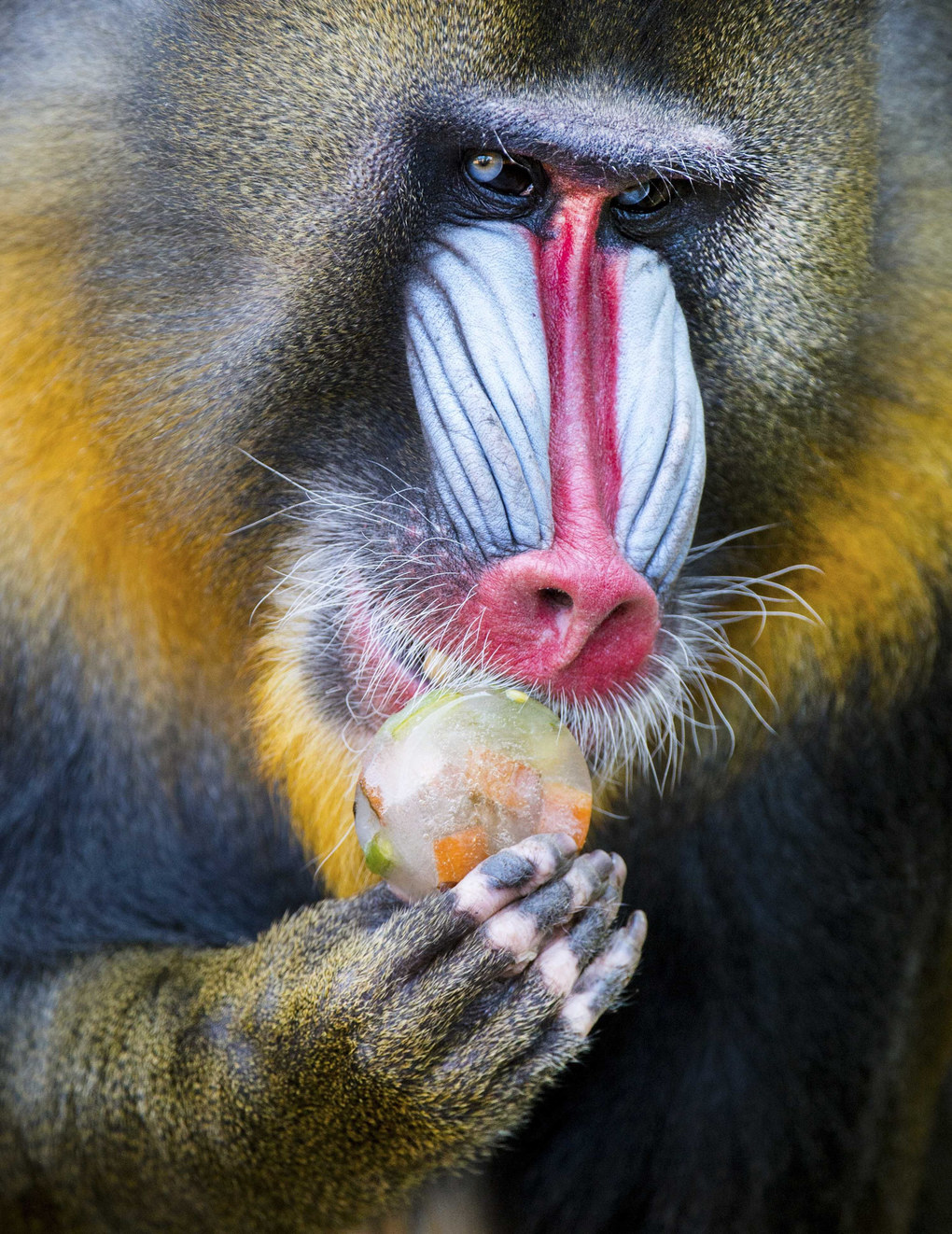 A mandrill licks an iced fruit in Ouwehands Dierenpark (Ouwehands Zoo) in Rhenen, Netherlands, June 30, 2015. The animals in the zoo get some refreshments to cool them down, with temperatures reaching 28 degrees Celsius.  EPA/PIROSCHKA VAN DE WOUW