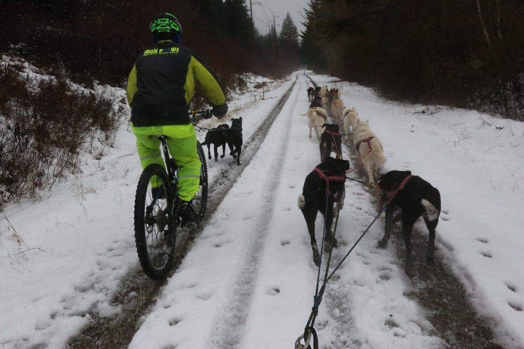Mikki Douglass' dog team of two passes Larry Roxby's team of 14 on the John Wayne Pioneer Trail east of Cle Elum. (Alan Berner / The Seattle Times)