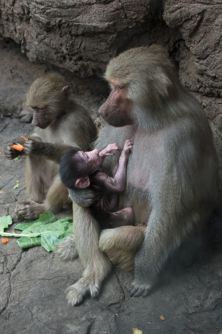This Nov. 2, 2015 photo provided by the Wildlife Conservation Society shows a baby Hamadryas baboon with his mother and sister at the Prospect Park Zoo in the Brooklyn borough of New York. The infant baboon, born Oct. 22, is now making his public debut. Hamadryas baboons are found in the Arabian peninsula and northeastern Africa. (Julie Larsen Maher/Wildlife Conservation Society via AP)