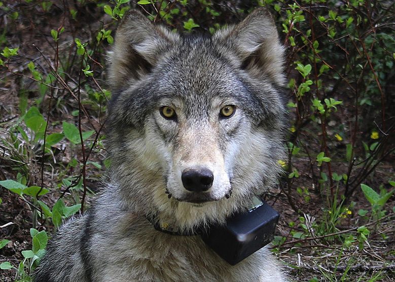 A female gray wolf from the Minam pack outside La Grande, Ore., after it was fitted with a tracking collar.  (AP)