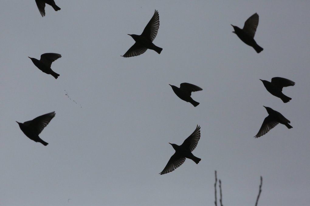 Starlings fly over Union  Bay on Friday, Jan. 29, 2016.  Native to Europe, Asia and Africa, many consider them an invasive species competing for habitat.  (Alan Berner / The Seattle Times)