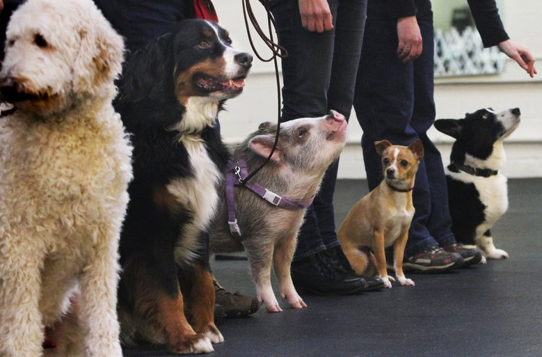 Amy, this little piggy, goes to an obedience class at Family Dog Training Center in Kent twice-a-week, where she has learned to sit. (Alan Berner / The Seattle Times)