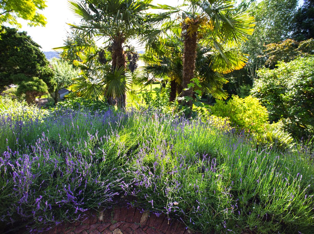 Old fan palms and beds of lavender in the lower garden. (Mike Siegel/The Seattle Times)