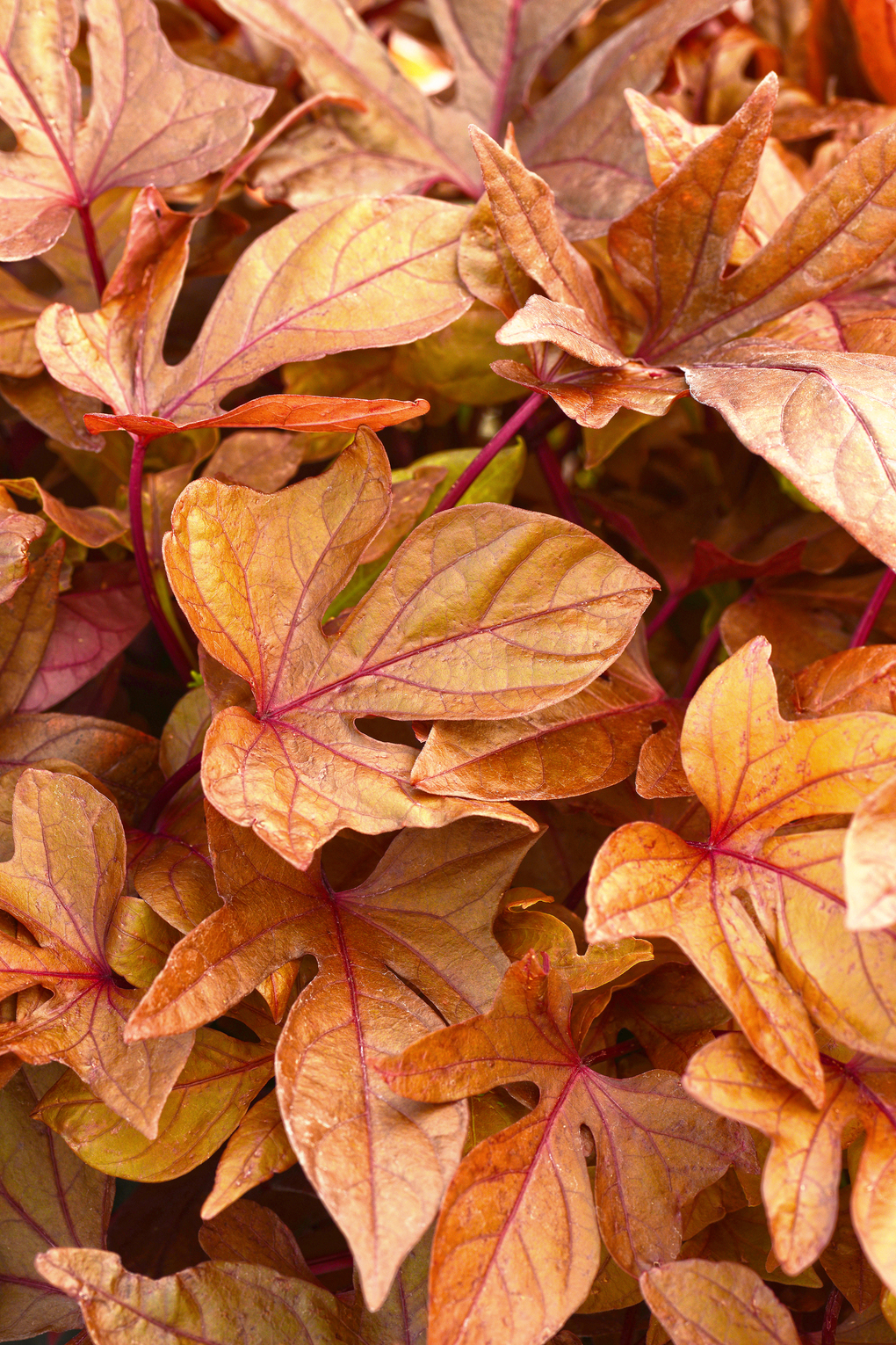 <em>Ipomoea</em> &#8216;Solar Power Red&#8217; (Courtesy of Log House Plants)