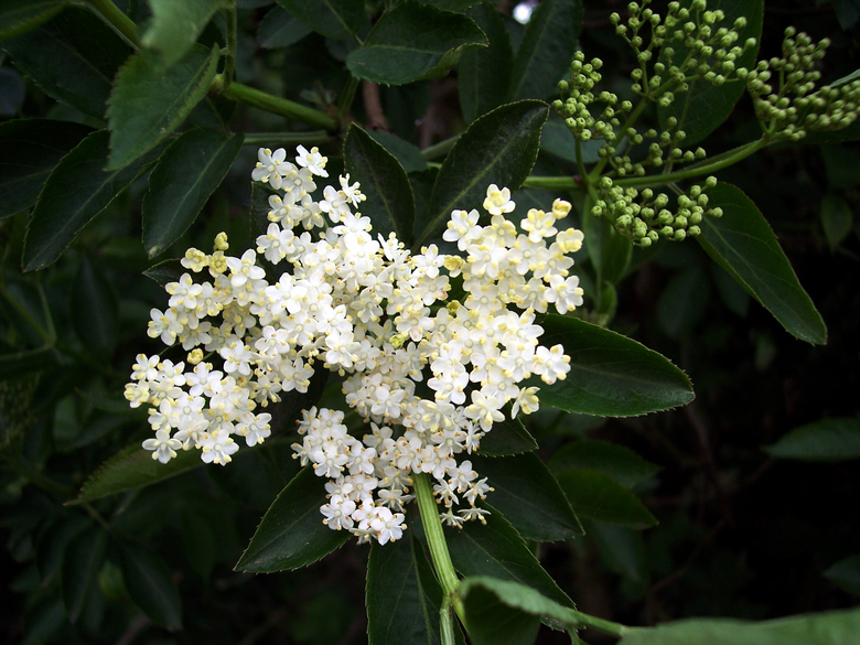 A shrub or small tree, elder (<em>Sambucus nigra</em>) is common in woods and scrubland. It has creamy five-lobed flowers. In late summer and early autumn it produces black, edible berries. (Courtesy National Education Netw)