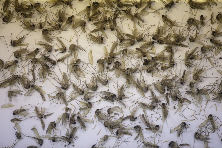A tray of Aedes dorsalis and Culex tarsalis mosquitos are shown collected at the Salt Lake City Mosquito Abatement District Tuesday, July 19, 2016, near Salt Lake City. Health authorities in Utah are investigating a unique case of Zika found in a person who had been caring for a relative who had an unusually high level of the virus in his blood. Exactly how the disease was transmitted is still a mystery, though the person has since recovered. (AP Photo/Rick Bowmer)