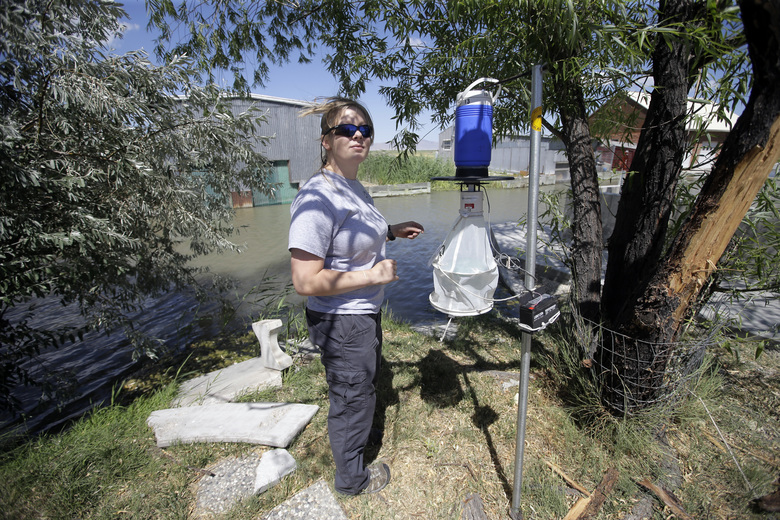 Nadja Mayerle with the Salt Lake City Mosquito Abatement District collects a mosquito trap Tuesday, July 19, 2016, near the marshes, in Salt Lake City. Health authorities in Utah are investigating a unique case of Zika found in a person who had been caring for a relative who had an unusually high level of the virus in his blood. Exactly how the disease was transmitted is still a mystery, though the person has since recovered.  (AP Photo/Rick Bowmer)