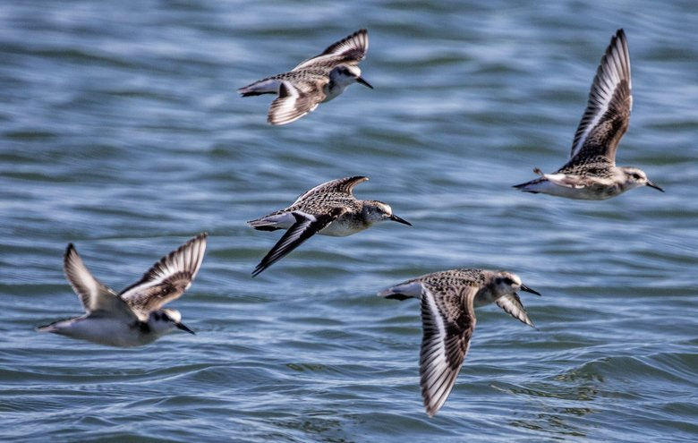 Shorebirds fly over Camano Island's Barnum Point, an area that is a key stopover for migratory shorebirds.  (Steve Ringman / The Seattle Times)