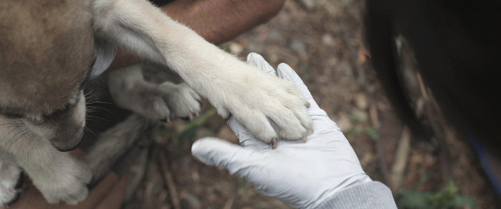 At Wolf Haven, a Mexican gray wolf pup is given a health inventory. (Photo by Annie Marie Musselman)