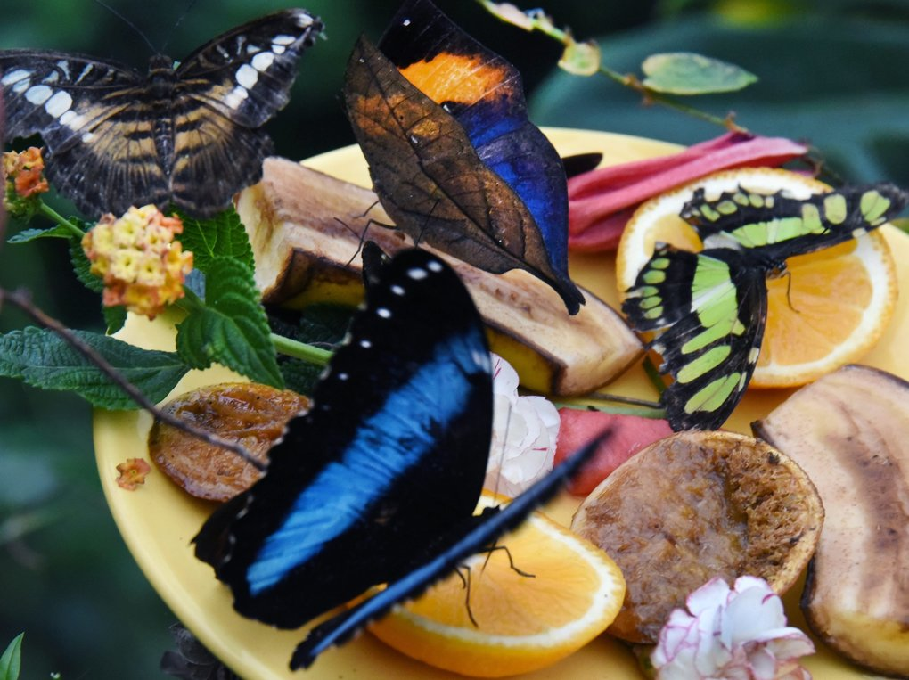 A picture made available on October 31, 2016 shows a Malachite, a Kallima inachus, a Morpho peleides and an Asian fritillary eat fruit at the Alaris butterfly park in Wittenberg-Lutherstadt, Germany, October 30, 2016. About 600 colourful butterflies and catterpillars start their journey to the Wildlands-Adventure Zoo in Emmen in the Netherlands. Due to the winter break at the park in Wittenberg, the butterflies will be transfered to the Netherlands.  EPA/WALTRAUD GRUBITZSCH