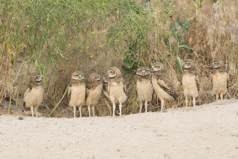 "Bannick said this group of juvenile burrowing owls, photographed in southeast Idaho, reminded him of the ""Waiting for the Interurban"" sculpture in Fremont. ""This is a group of teenagers hanging out,"" he said. (Paul Bannick)"